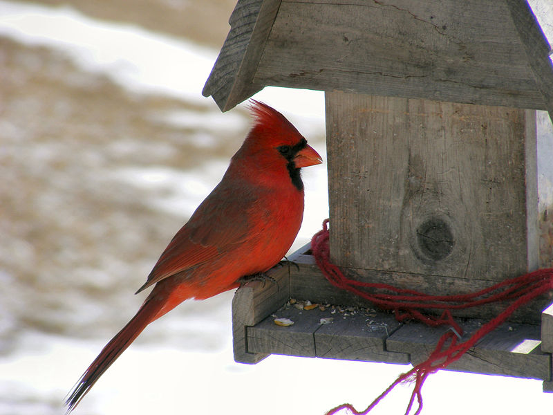 800px-Male_Northern_Cardinal_At_Feeder